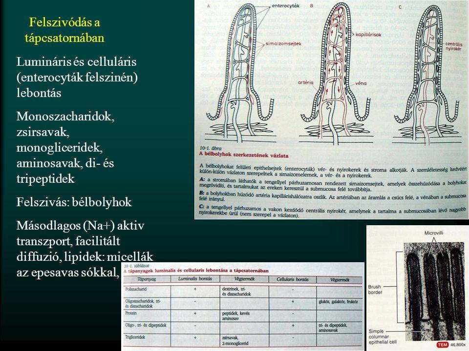 Felszivódás a tápcsatornában Lumináris és celluláris (enterocyták felszinén) lebontás Monoszacharidok, zsirsavak, monogliceridek, aminosavak, di- és t