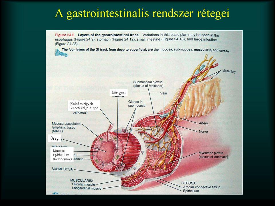 A tápcsatorna működésének szabályozása Központi idegrendszeri reflexek Enterális idegrendszeri reflexek Mirigy sejtek rendszere (Hormonok, Parakrin mediátorok) Mechanikus és kémiai receptorok  centrális és helyi válasz  szekréció, motoros, vasomotoros válasz Gastrointestinális hormonok (gasztrin, kolecisztokinin, szekretin, glukóz-dependens inzulinotrop peptid Parakrin mediátorok (hisztamin, szomatosztatin)