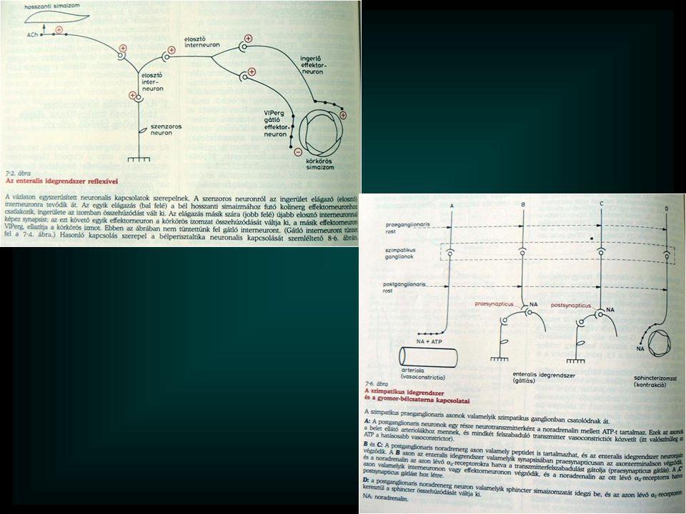A tápcsatorna motoros működése Továbbitás, keverés, késleltetés, tárolás, ürités Szinkronban a többi (szekréciós, felszivó) müködésekkel (hormonok, idegi szabályozás) Vázizom (központi idegrendszer) Simaizom (endogén ritmusgenerálás, enterális idegrendszer)
