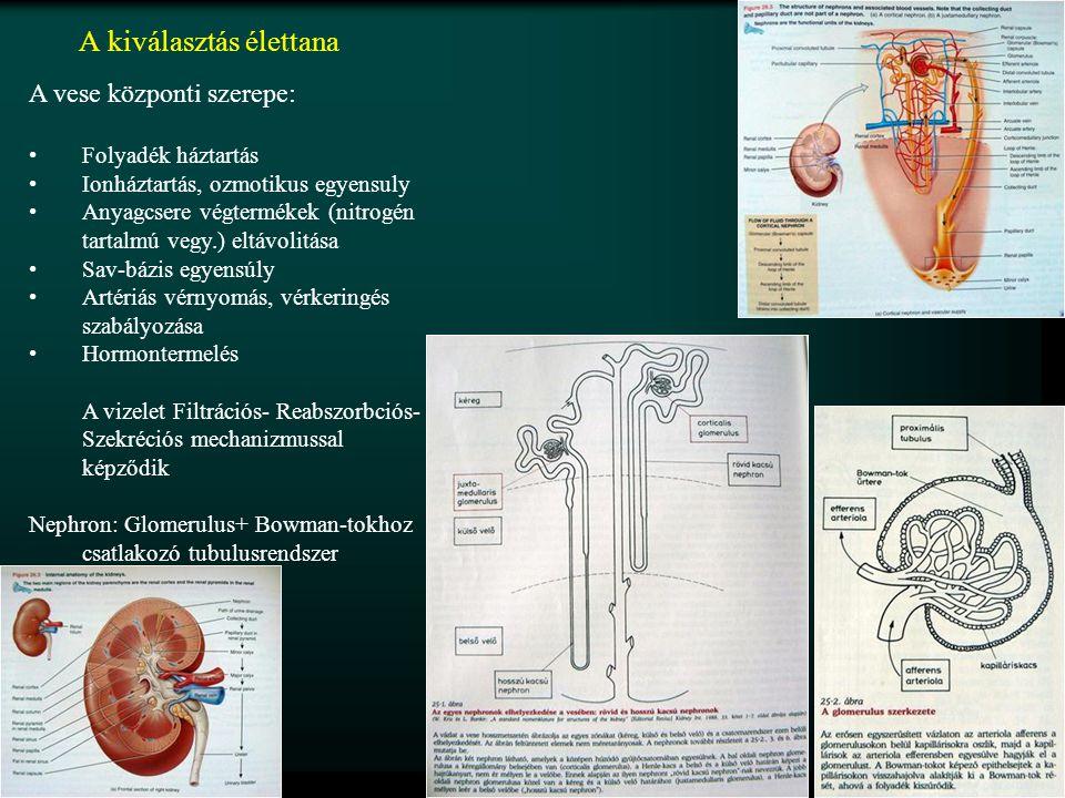 A kiválasztás élettana A vese központi szerepe: Folyadék háztartás Ionháztartás, ozmotikus egyensuly Anyagcsere végtermékek (nitrogén tartalmú vegy.) eltávolitása Sav-bázis egyensúly Artériás vérnyomás, vérkeringés szabályozása Hormontermelés A vizelet Filtrációs- Reabszorbciós- Szekréciós mechanizmussal képződik Nephron: Glomerulus+ Bowman-tokhoz csatlakozó tubulusrendszer