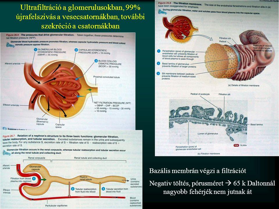 Ultrafiltráció a glomerulusokban, 99% újrafelszivás a vesecsatornákban, további szekréció a csatornákban Bazális membrán végzi a filtrációt Negativ töltés, pórusméret  65 k Daltonnál nagyobb fehérjék nem jutnak át