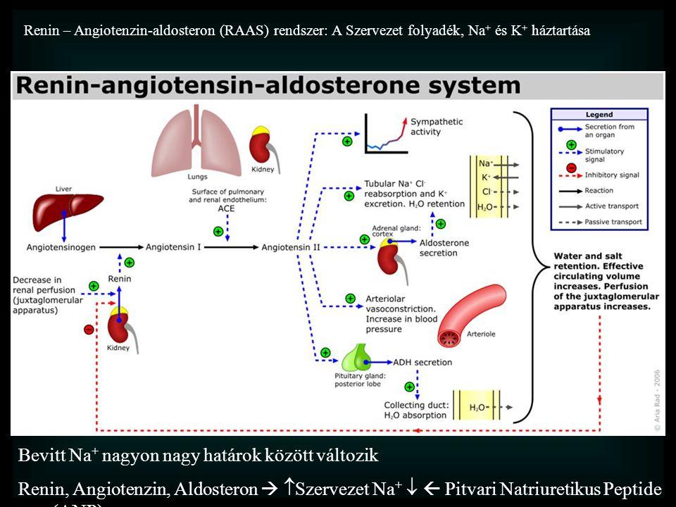 Renin – Angiotenzin-aldosteron (RAAS) rendszer: A Szervezet folyadék, Na + és K + háztartása A szervezet eztracelluláris folyadék térfogatát a Na + készlet határozza meg Bevitt Na + nagyon nagy határok között változik Renin, Angiotenzin, Aldosteron   Szervezet Na +   Pitvari Natriuretikus Peptide (ANP) ACE feleslegben van,  Renin a fő szabályozó