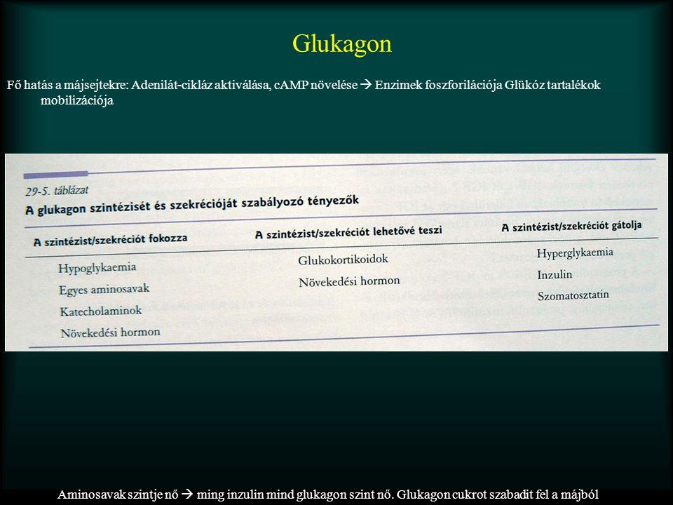 Glukagon Aminosavak szintje nő  ming inzulin mind glukagon szint nő. Glukagon cukrot szabadit fel a májból Fő hatás a májsejtekre: Adenilát-cikláz ak