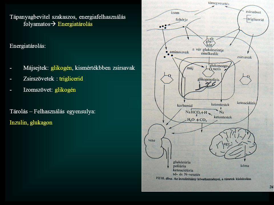 Tápanyagbevitel szakaszos, energiafelhasználás folyamatos  Energiatárolás Energiatárolás: -Májsejtek: glikogén, kismértékbben zsirsavak -Zsirszövetek : triglicerid -Izomszövet: glikogén Tárolás – Felhasználás egyensulya: Inzulin, glukagon