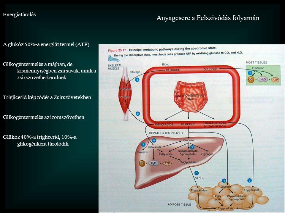 Anyagcsere a Felszivódás folyamán Energiatárolás A glükóz 50%-a energiát termel (ATP) Glikogéntermelés a májban, de kismennyiségben zsirsavak, amik a