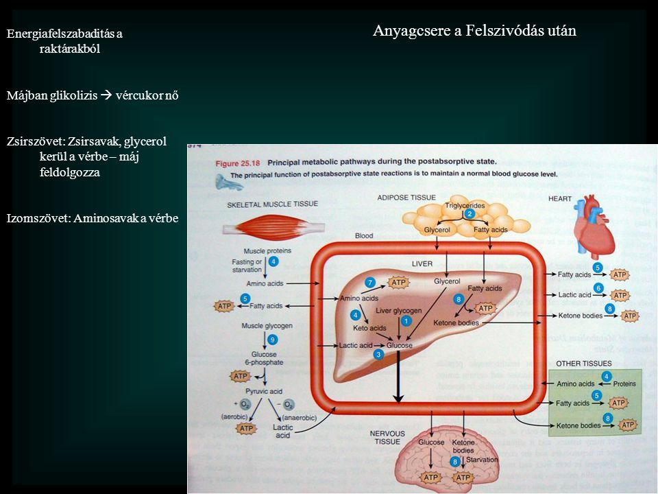 Anyagcsere a Felszivódás után Energiafelszabaditás a raktárakból Májban glikolizis  vércukor nő Zsirszövet: Zsirsavak, glycerol kerül a vérbe – máj feldolgozza Izomszövet: Aminosavak a vérbe