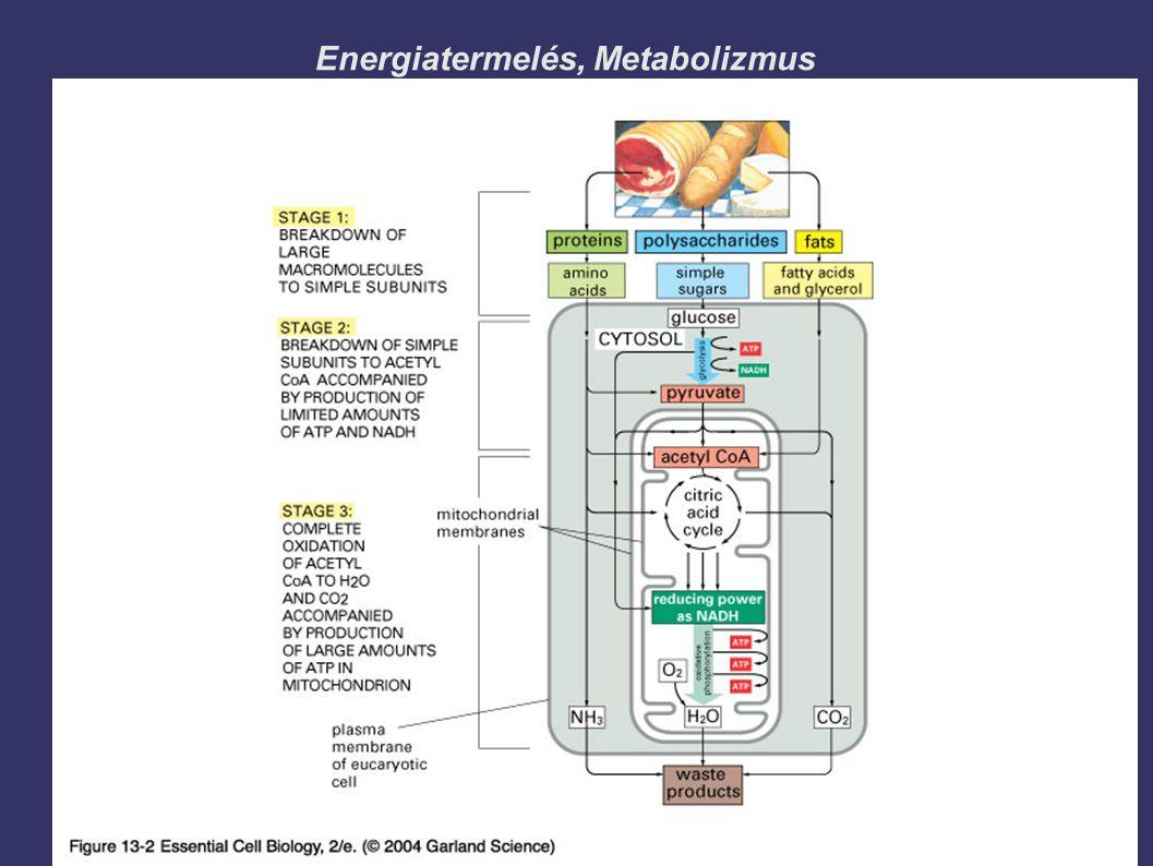 Energiatermelés, Metabolizmus