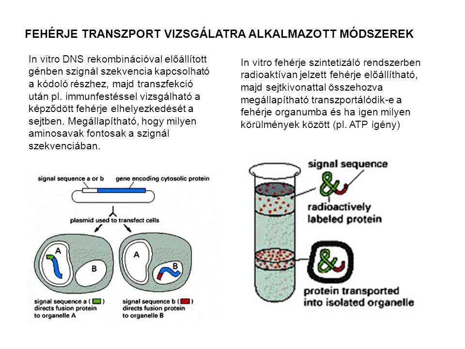 FEHÉRJE TRANSZPORT VIZSGÁLATRA ALKALMAZOTT MÓDSZEREK In vitro DNS rekombinációval előállított génben szignál szekvencia kapcsolható a kódoló részhez,