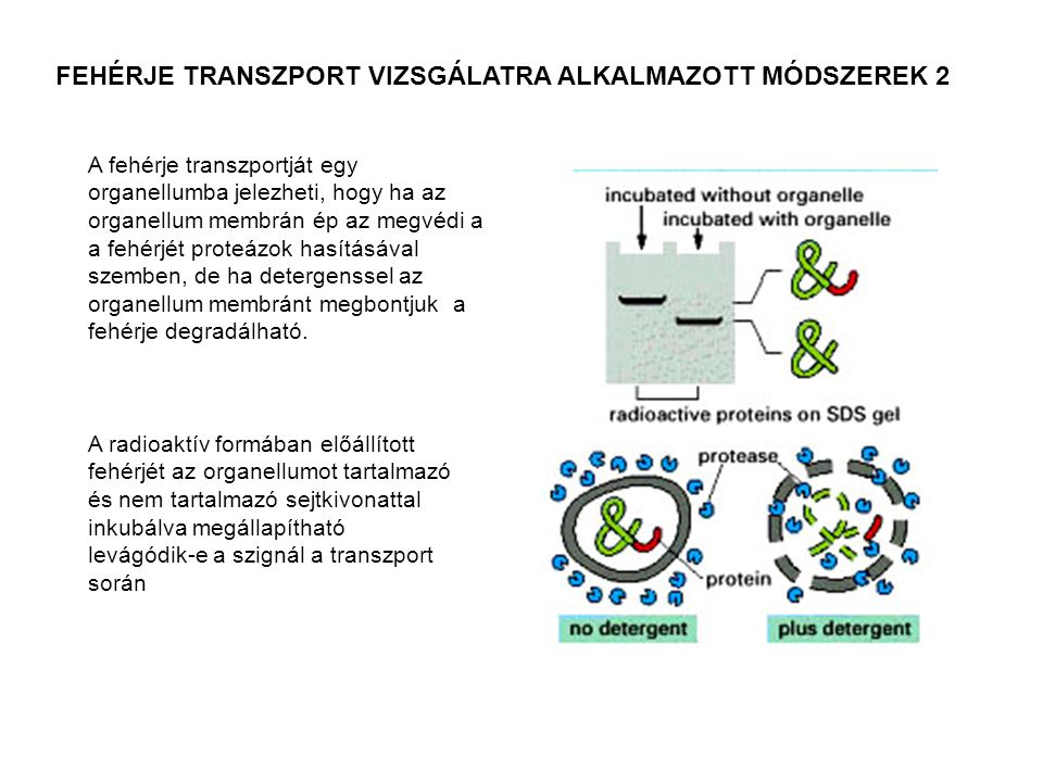 FEHÉRJE TRANSZPORT VIZSGÁLATRA ALKALMAZOTT MÓDSZEREK 2 A radioaktív formában előállított fehérjét az organellumot tartalmazó és nem tartalmazó sejtkiv