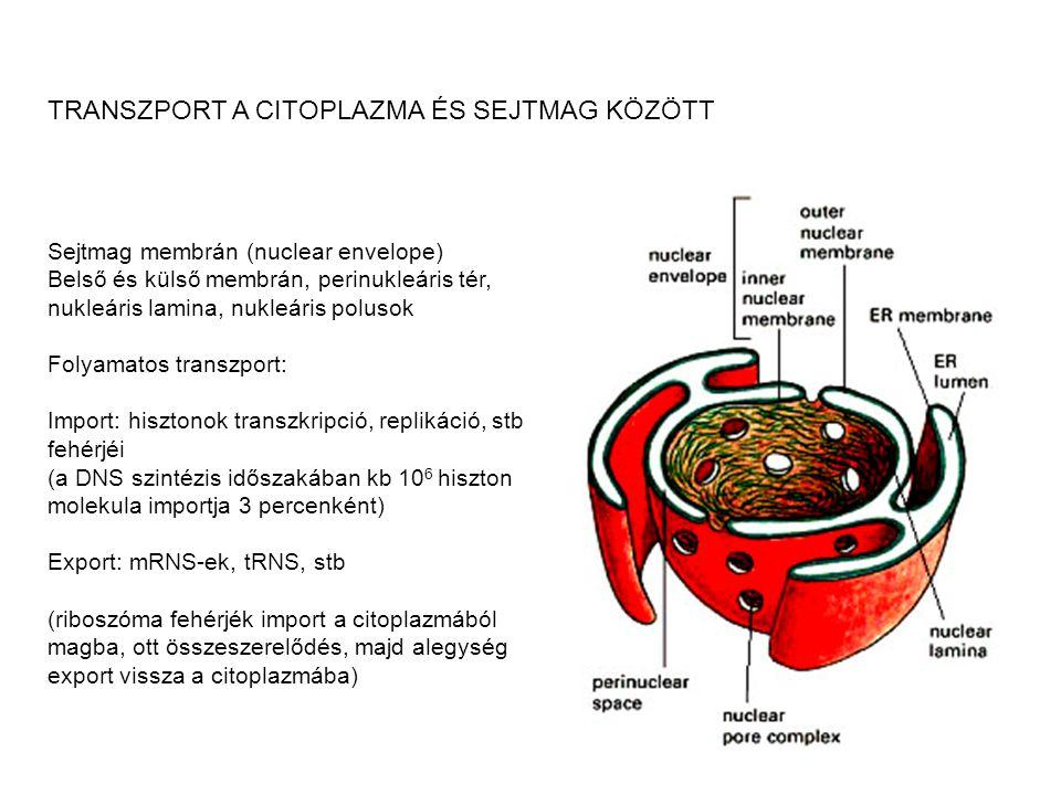 TRANSZPORT A CITOPLAZMA ÉS SEJTMAG KÖZÖTT Sejtmag membrán (nuclear envelope) Belső és külső membrán, perinukleáris tér, nukleáris lamina, nukleáris po