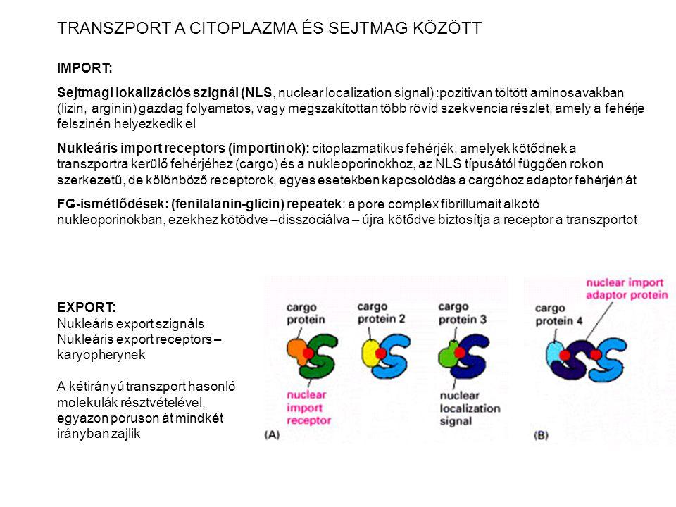 TRANSZPORT A CITOPLAZMA ÉS SEJTMAG KÖZÖTT IMPORT: Sejtmagi lokalizációs szignál (NLS, nuclear localization signal) :pozitivan töltött aminosavakban (l