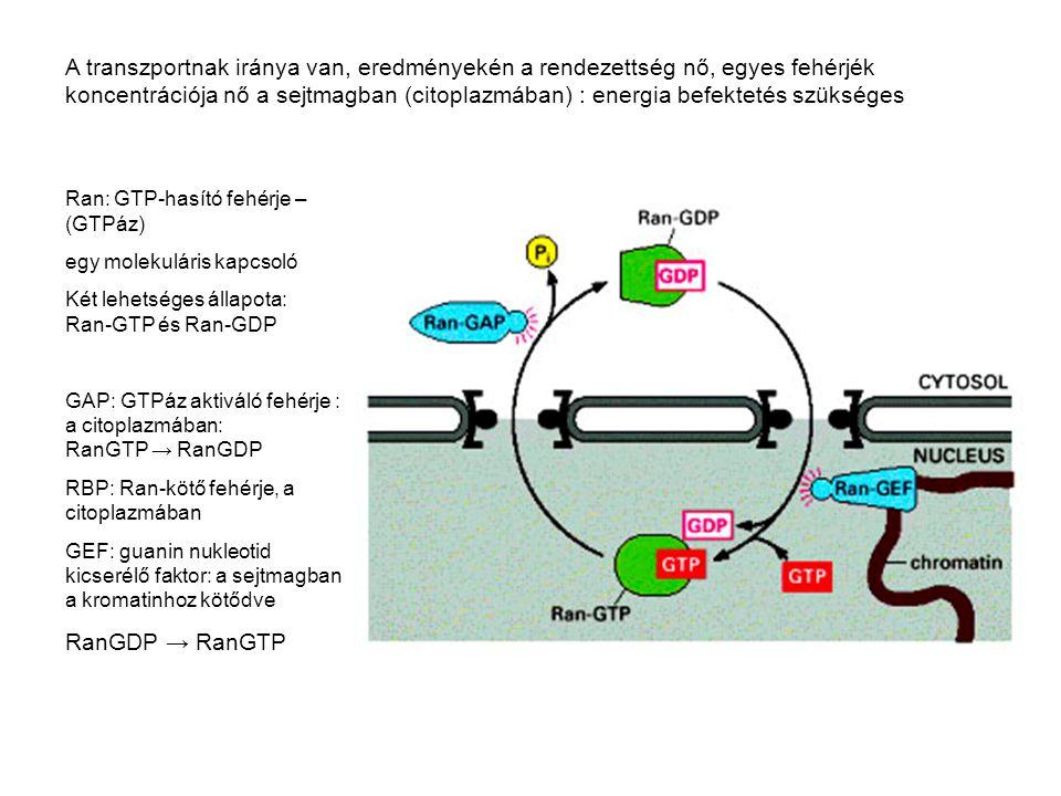 A transzportnak iránya van, eredményekén a rendezettség nő, egyes fehérjék koncentrációja nő a sejtmagban (citoplazmában) : energia befektetés szükség