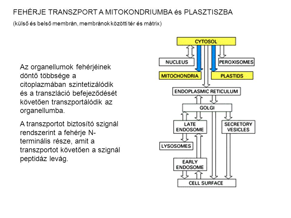FEHÉRJE TRANSZPORT A MITOKONDRIUMBA és PLASZTISZBA (külső és belső membrán, membránok közötti tér és mátrix) Az organellumok fehérjéinek döntő többség