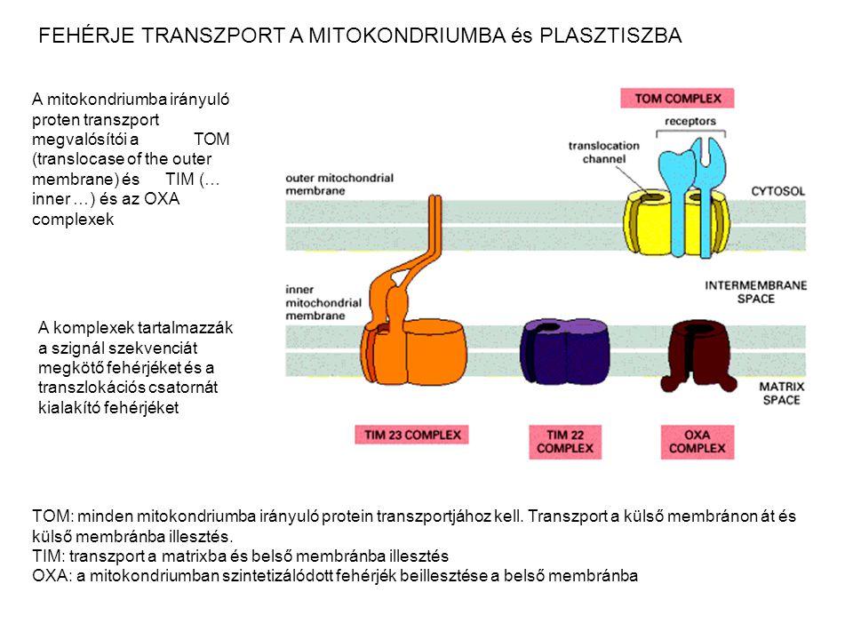 FEHÉRJE TRANSZPORT A MITOKONDRIUMBA és PLASZTISZBA A mitokondriumba irányuló proten transzport megvalósítói a TOM (translocase of the outer membrane)