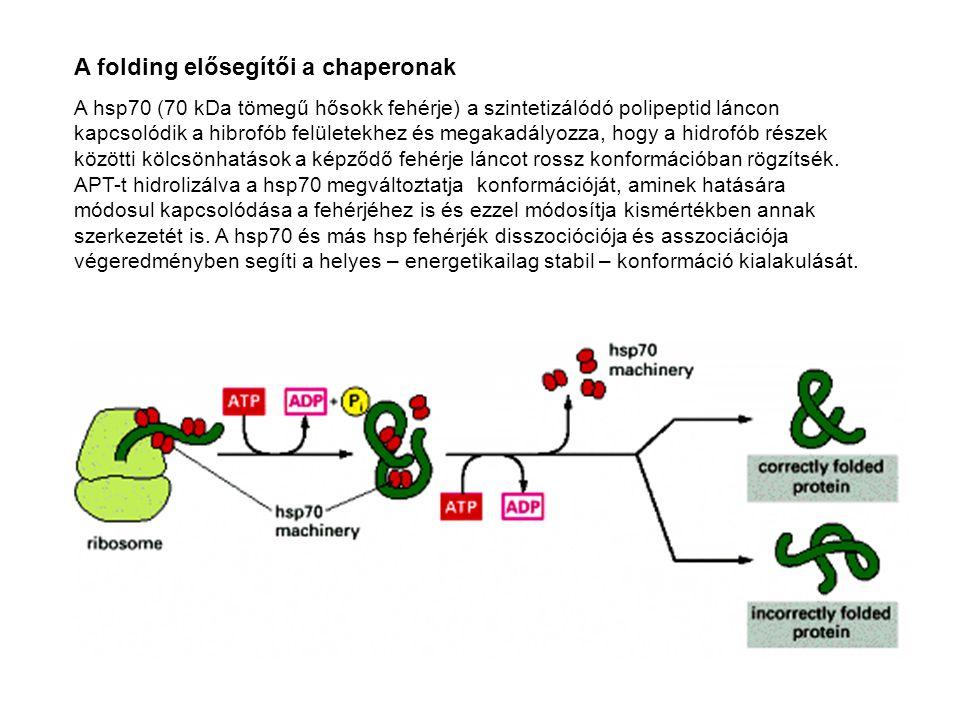 A folding elősegítői a chaperonak A hsp70 (70 kDa tömegű hősokk fehérje) a szintetizálódó polipeptid láncon kapcsolódik a hibrofób felületekhez és meg