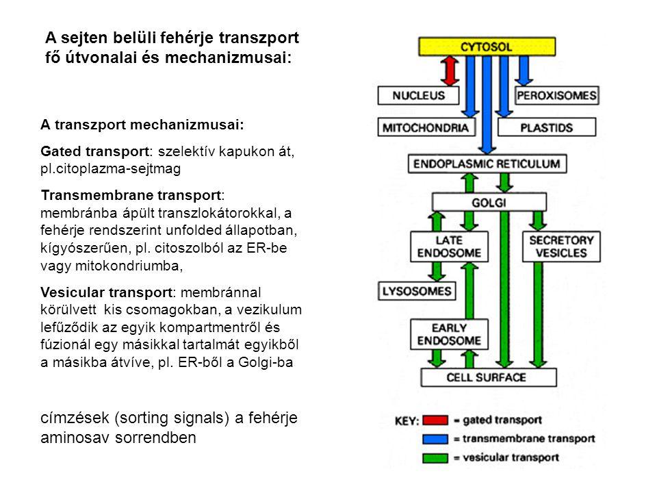 Szignál szekvenciák Színes: bizonyítottan fontos a jelenléte, piros: pozitívan töltött, zöld:negatívan töltött, sárga: hidrofób, kék: hidroxilált, H 3 N: amino terminális, COO karboxi terminális vég