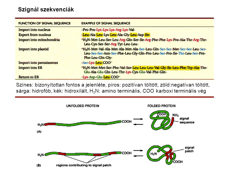Szignál szekvenciák Színes: bizonyítottan fontos a jelenléte, piros: pozitívan töltött, zöld:negatívan töltött, sárga: hidrofób, kék: hidroxilált, H 3
