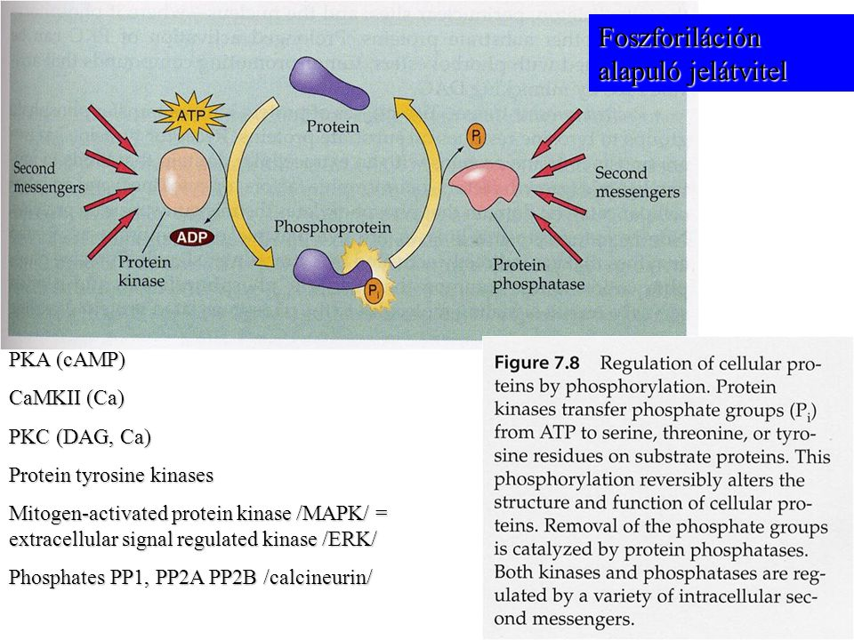 PKA (cAMP) CaMKII (Ca) PKC (DAG, Ca) Protein tyrosine kinases Mitogen-activated protein kinase /MAPK/ = extracellular signal regulated kinase /ERK/ Phosphates PP1, PP2A PP2B /calcineurin/ Foszforiláción alapuló jelátvitel