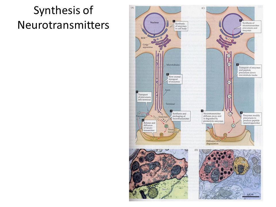 Synthesis of Neurotransmitters