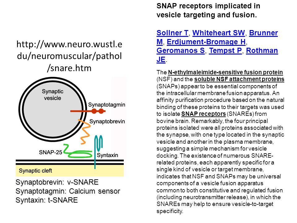 http://www.neuro.wustl.e du/neuromuscular/pathol /snare.htm Synaptobrevin: v-SNARE Synaptotagmin: Calcium sensor Syntaxin: t-SNARE SNAP receptors implicated in vesicle targeting and fusion.