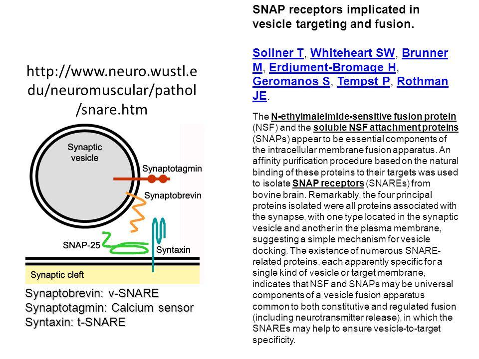 http://www.neuro.wustl.e du/neuromuscular/pathol /snare.htm Synaptobrevin: v-SNARE Synaptotagmin: Calcium sensor Syntaxin: t-SNARE SNAP receptors impl