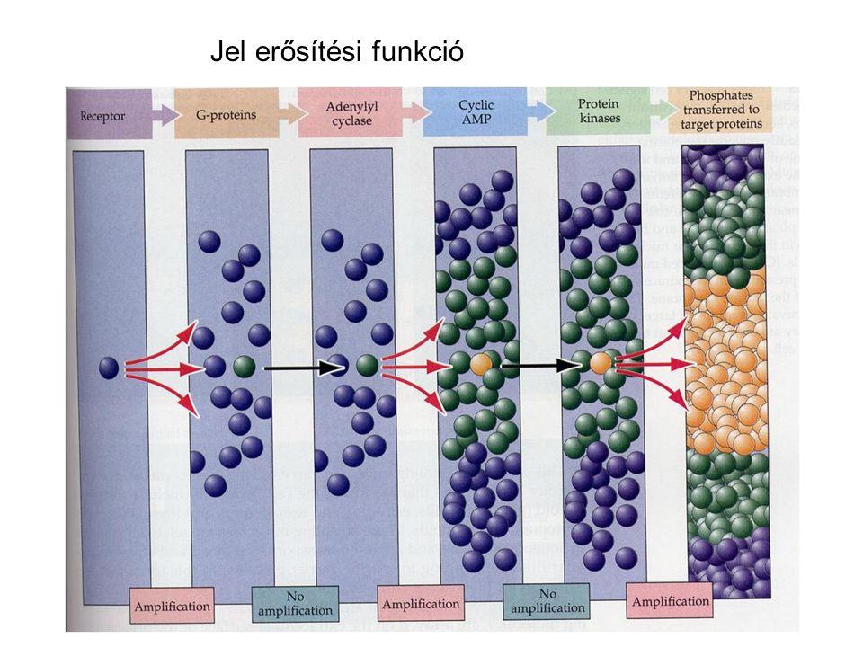 A (kémiai) szinapszis http://www.itg.uiuc.edu/exhibits/gallery/pages/image-51.htm http://www.meddean.luc.edu/lumen/meded/neuro%20/lectures/Transmission.pdf Hogyan tanulmányozzák: Electron mikroszkópElectron mikroszkóp Preszinaptikus stimuláció posztszinaptikus áramot vált ki, amely antagonistákkal gátolhatóPreszinaptikus stimuláció posztszinaptikus áramot vált ki, amely antagonistákkal gátolható Visszafordítási potenciálVisszafordítási potenciál Spontán transzmitter kibocsátás (mEPSPs, mIPSPs)Spontán transzmitter kibocsátás (mEPSPs, mIPSPs) Quantal analízisQuantal analízis