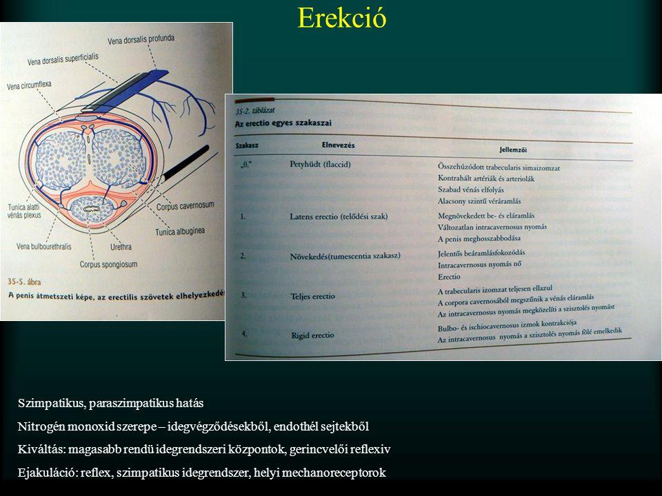 Erekció Szimpatikus, paraszimpatikus hatás Nitrogén monoxid szerepe – idegvégződésekből, endothél sejtekből Kiváltás: magasabb rendü idegrendszeri köz
