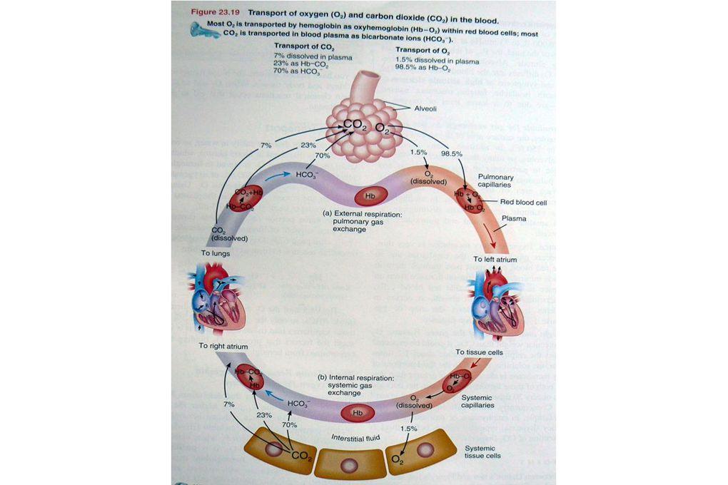 Szimpatikus, paraszimpatikus idegrendszer Anatómiailag a preganglionáris sejttestek elhelyezkedése különbözteti meg őket Ganglion: perifériális idegrendszer részei, átkapcsolódás a ganglionokban Preganglionáris rostok vékony, velőhüvelyes, a posztganglionáris rostok C velőhüvely nélküliek Preganglionáris rostok mindig kolinergek, nikotinos Ach receptorok