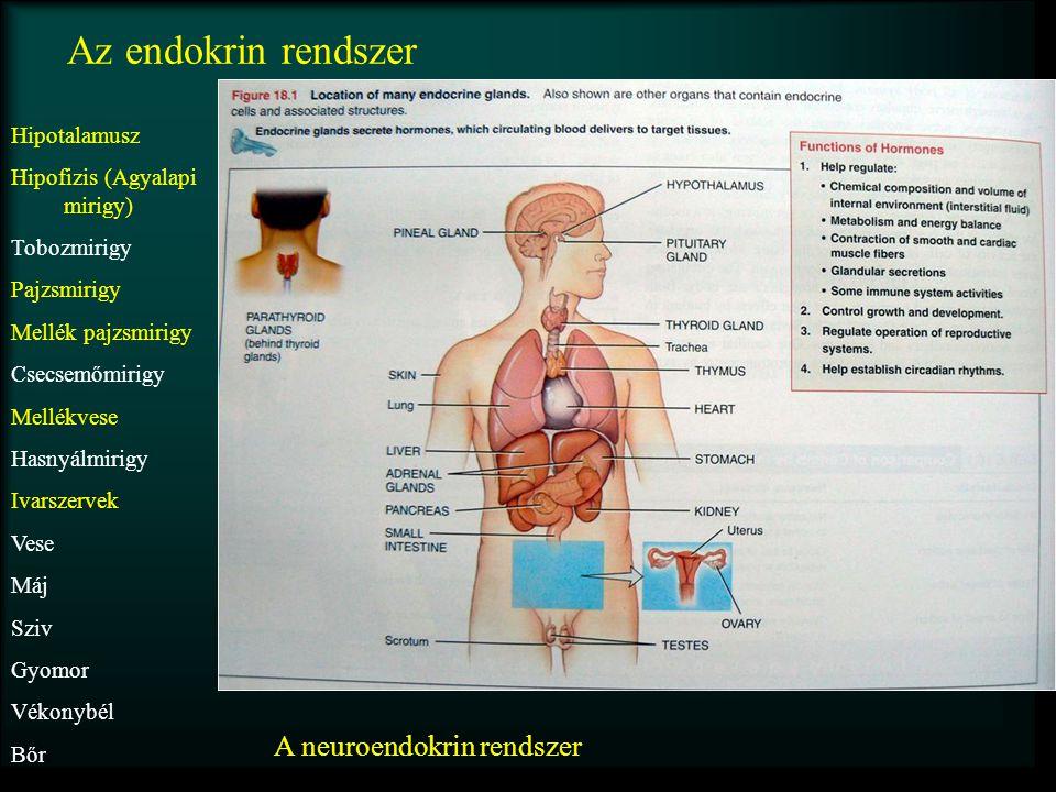 Az endokrin rendszer Hipotalamusz Hipofizis (Agyalapi mirigy) Tobozmirigy Pajzsmirigy Mellék pajzsmirigy Csecsemőmirigy Mellékvese Hasnyálmirigy Ivars