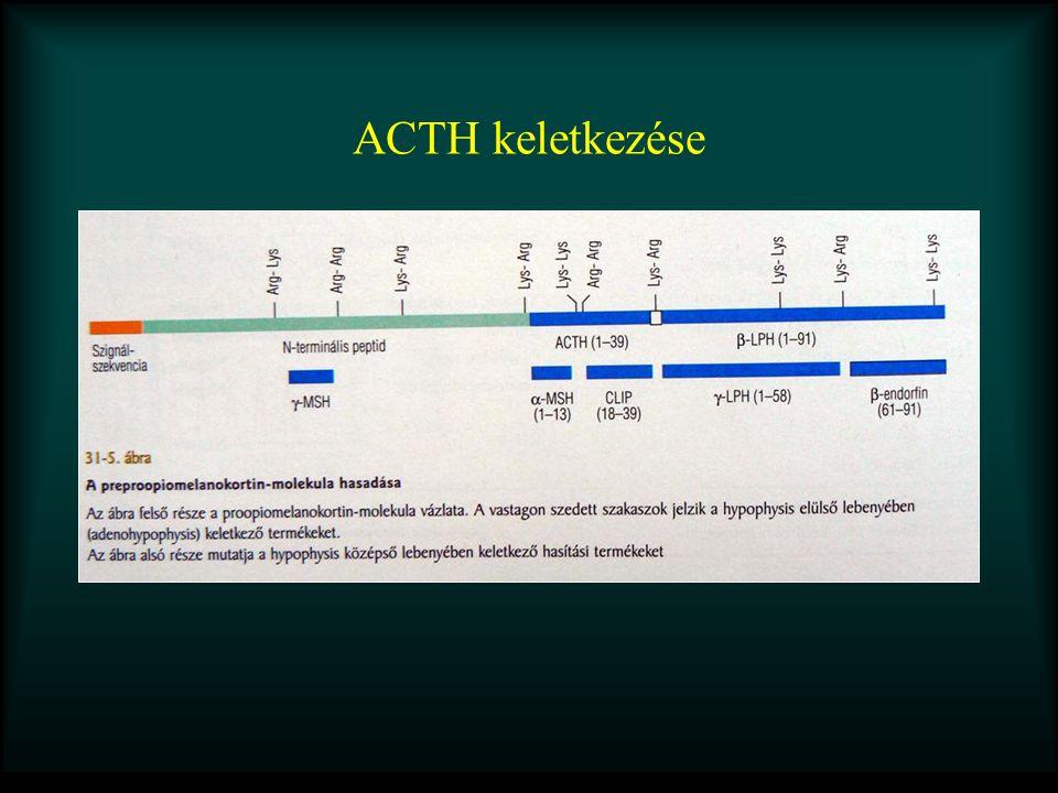 ACTH keletkezése