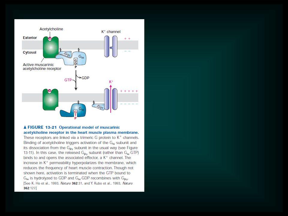 A hipofizis két lebenye különböző eredetü