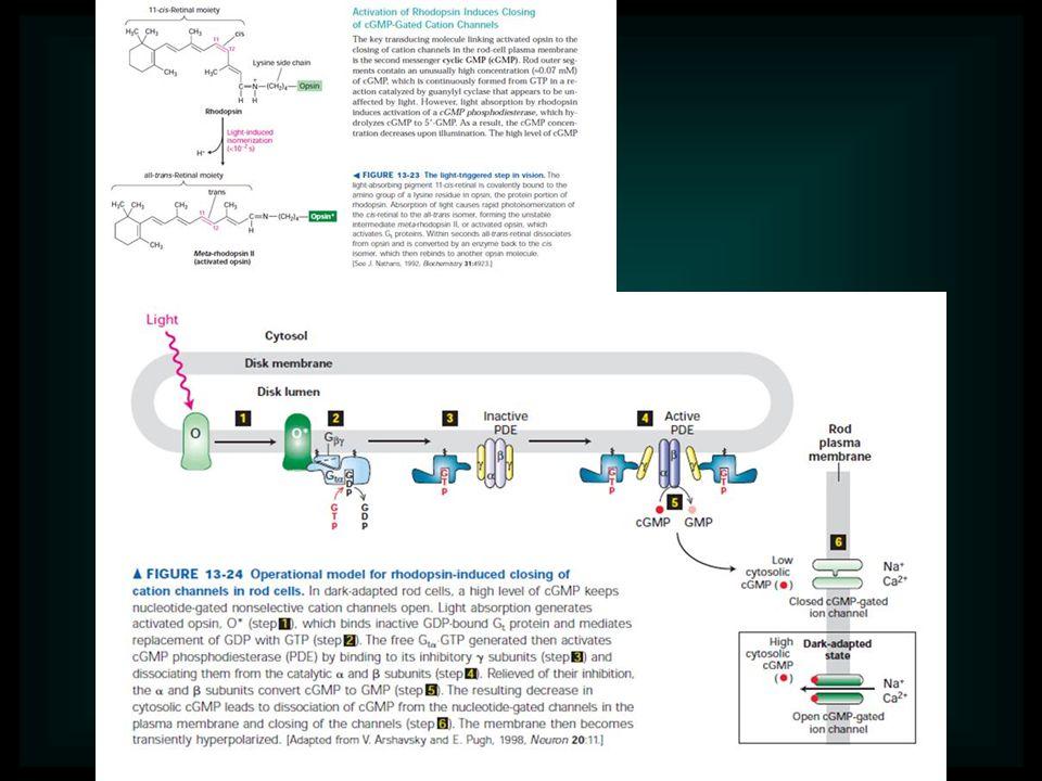 Az endokrin rendszer Hipotalamusz Hipofizis (Agyalapi mirigy) Tobozmirigy Pajzsmirigy Mellék pajzsmirigy Csecsemőmirigy Mellékvese Hasnyálmirigy Ivarszervek Vese Máj Sziv Gyomor Vékonybél Bőr A neuroendokrin rendszer