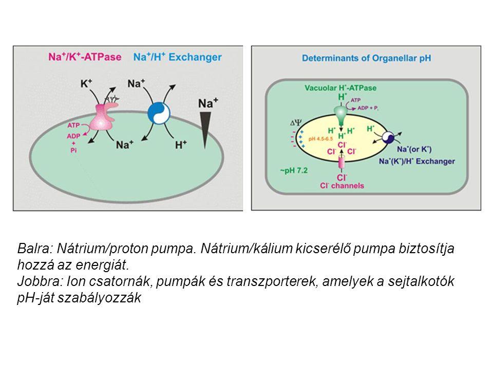 Balra: Nátrium/proton pumpa. Nátrium/kálium kicserélő pumpa biztosítja hozzá az energiát. Jobbra: Ion csatornák, pumpák és transzporterek, amelyek a s