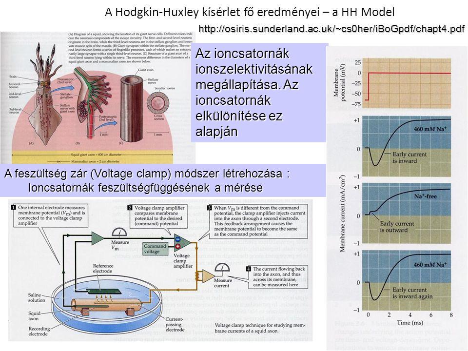 A Hodgkin-Huxley kísérlet fő eredményei – a HH Model A feszültség zár (Voltage clamp) módszer létrehozása : Ioncsatornák feszültségfüggésének a mérése Az ioncsatornák ionszelektivitásának megállapítása.