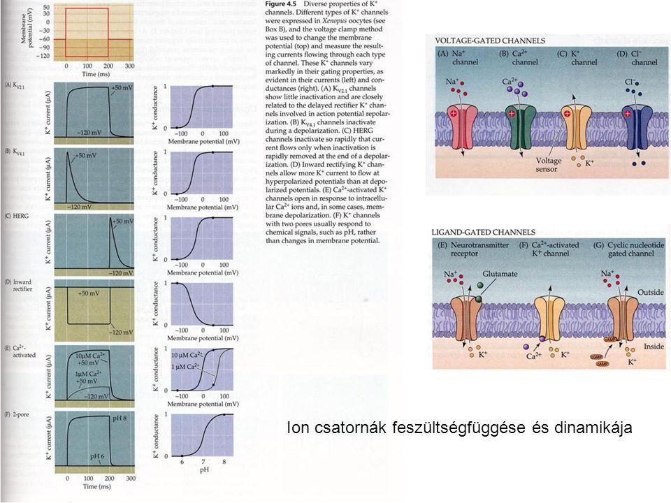 Ion csatornák feszültségfüggése és dinamikája