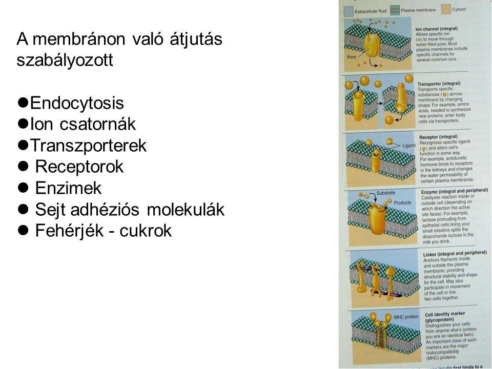A membránon való átjutás szabályozott Endocytosis Ion csatornák Transzporterek Receptorok Enzimek Sejt adhéziós molekulák Fehérjék - cukrok