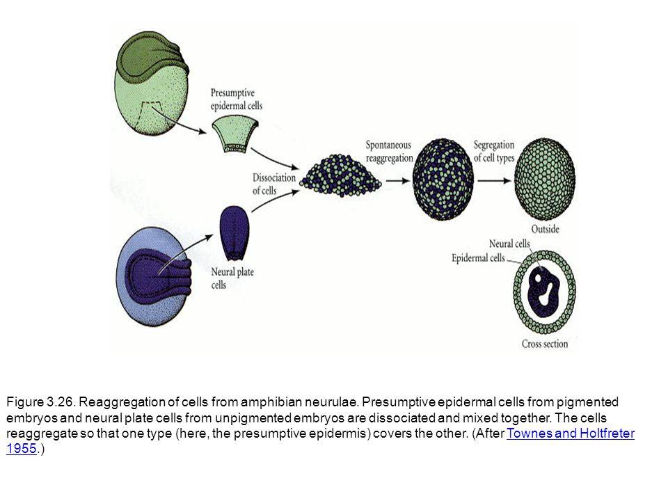 Figure 3.26.Reaggregation of cells from amphibian neurulae.