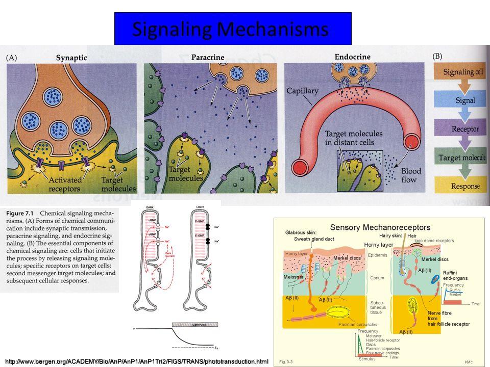 Signaling Mechanisms http://www.bergen.org/ACADEMY/Bio/AnP/AnP1/AnP1Tri2/FIGS/TRANS/phototransduction.html