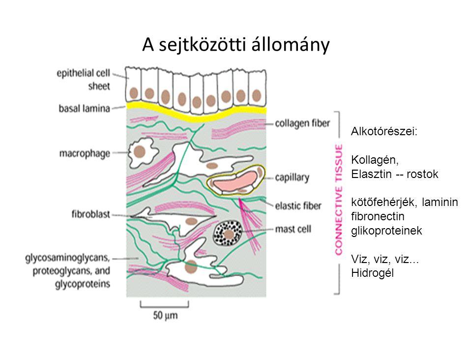 A sejtközötti állomány Alkotórészei: Kollagén, Elasztin -- rostok kötőfehérjék, laminin fibronectin glikoproteinek Viz, viz, viz...