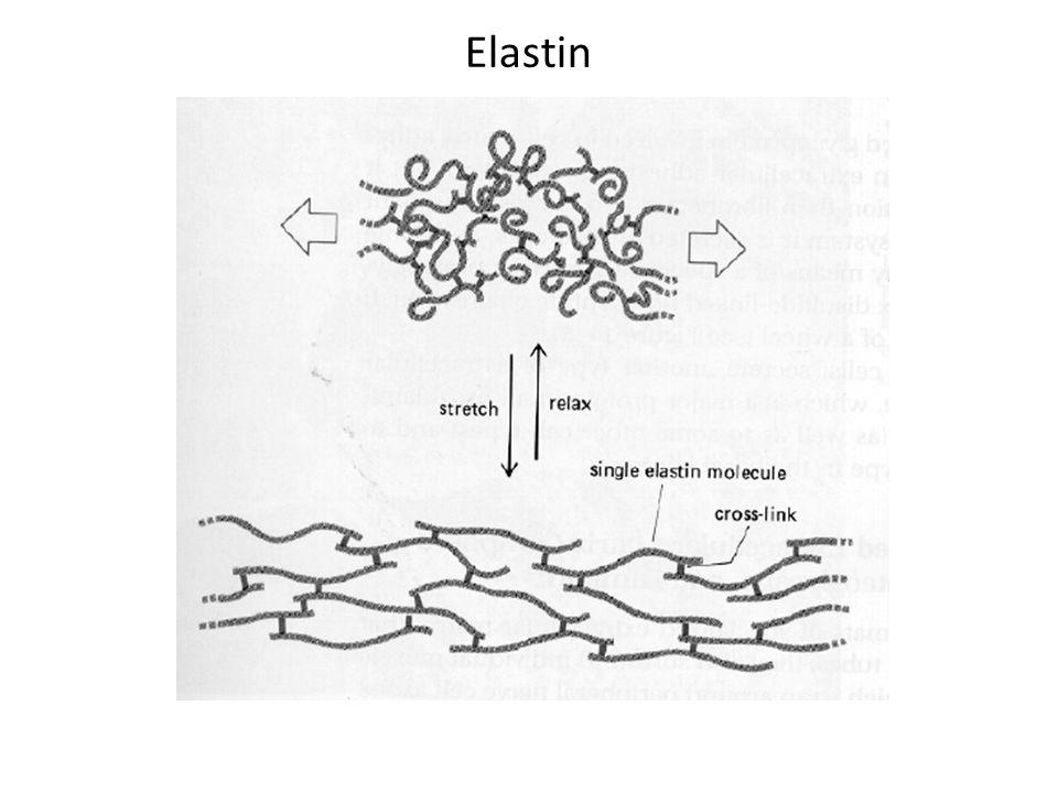 Elastin http://chem.csusb.edu/~dpedersn/C436/prot_struct_and_class.html