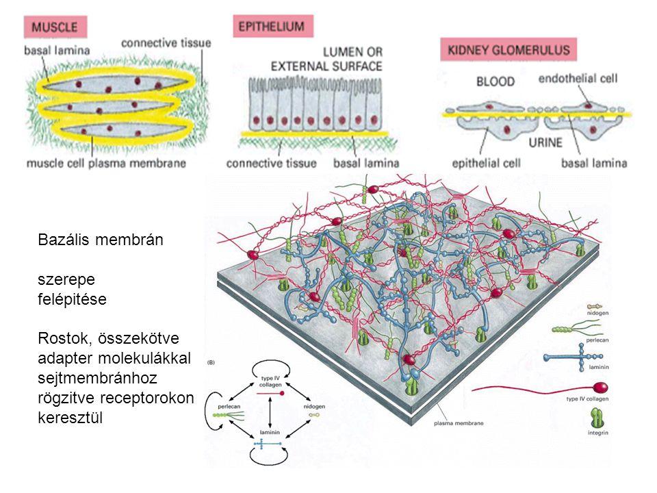 Bazális membrán szerepe felépitése Rostok, összekötve adapter molekulákkal sejtmembránhoz rögzitve receptorokon keresztül
