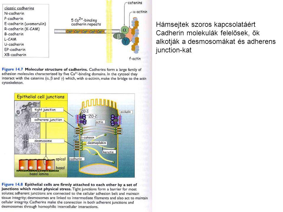 Cadherins generally mediate homotypic cell-cell adhesion and they are present in cell-cell junctions, adherens junctions and desmosomes Hámsejtek szoros kapcsolatáért Cadherin molekulák felelősek, ők alkotják a desmosomákat és adherens junction-kat