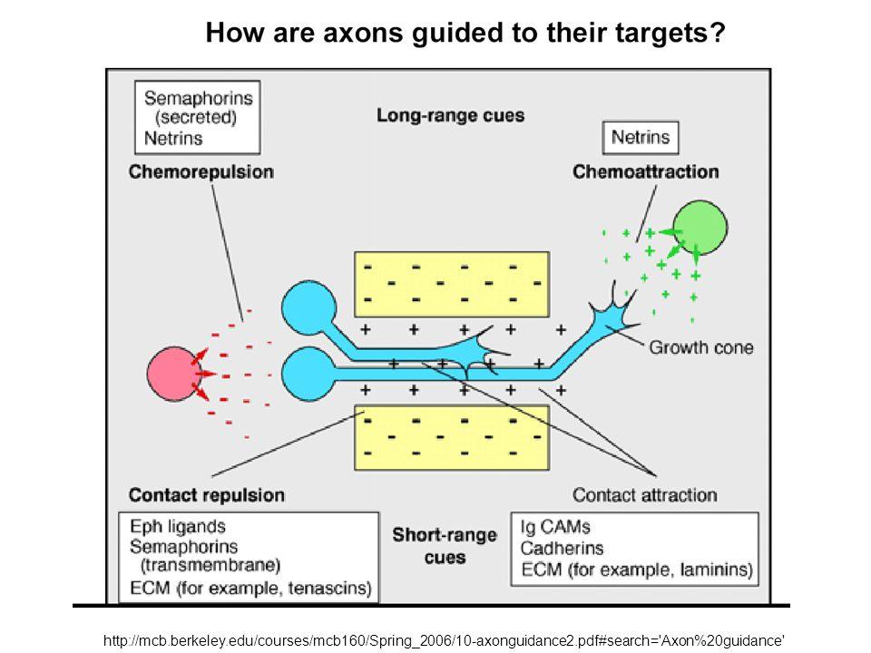 http://mcb.berkeley.edu/courses/mcb160/Spring_2006/10-axonguidance2.pdf#search= Axon%20guidance