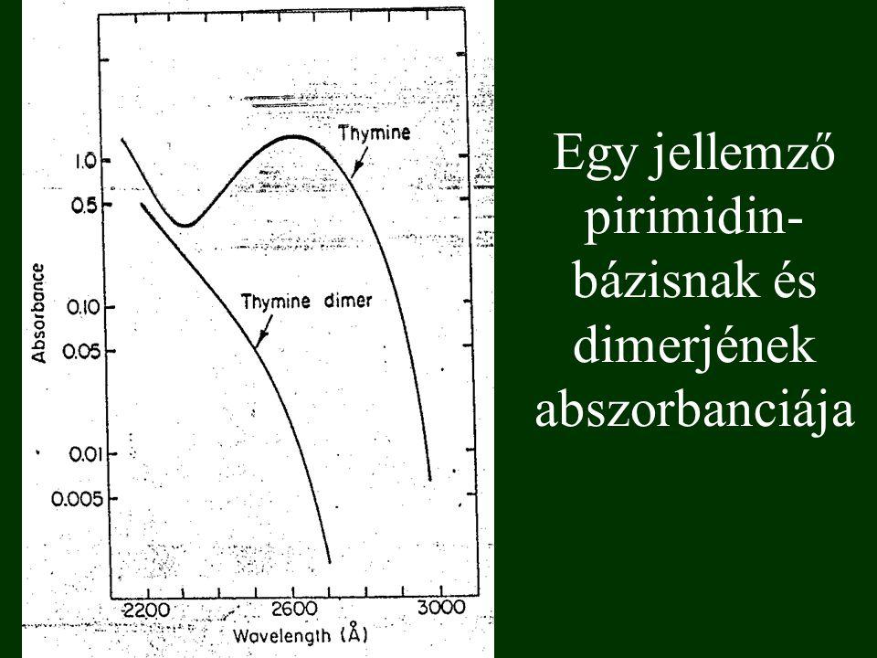 Egy jellemző pirimidin- bázisnak és dimerjének abszorbanciája