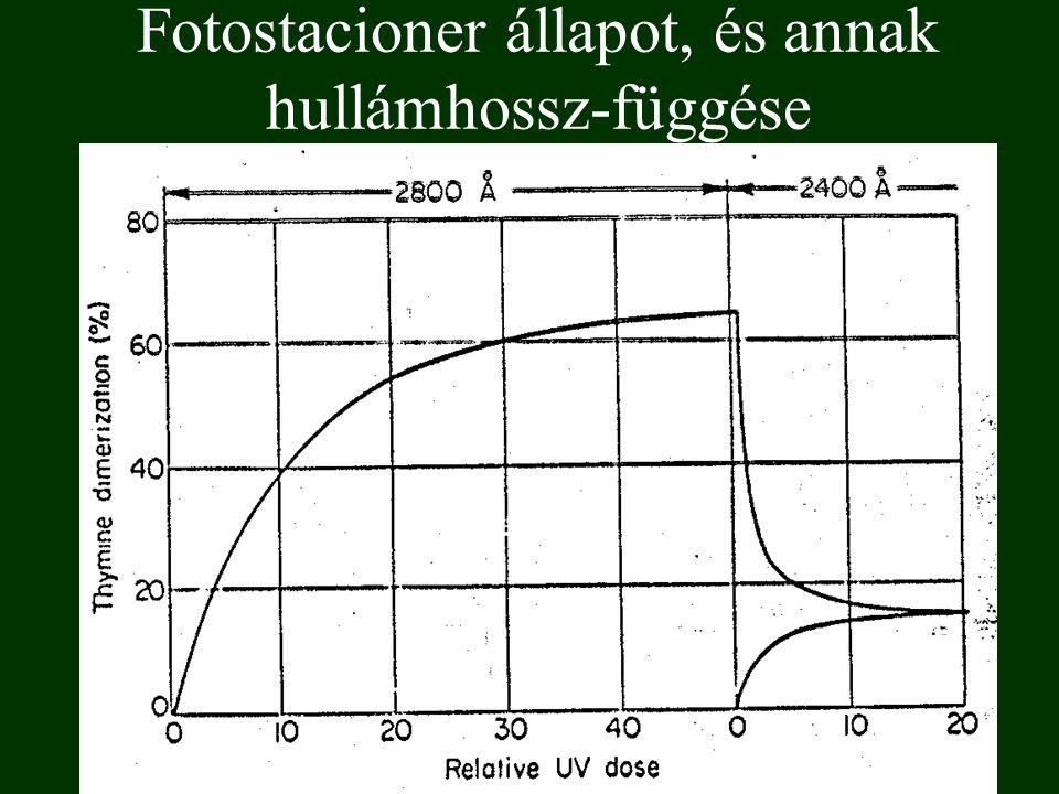 fotohidratáció 6-4 fotoaddukt Cisztein fotoaddíció Timin további fotoreakciói