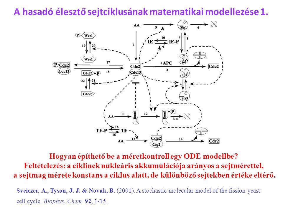A hasadó élesztő sejtciklusának matematikai modellezése 1. Hogyan építhető be a méretkontroll egy ODE modellbe? Feltételezés: a ciklinek nukleáris akk