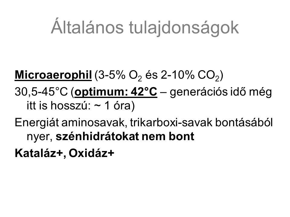 Általános tulajdonságok Microaerophil (3-5% O 2 és 2-10% CO 2 ) 30,5-45°C (optimum: 42°C – generációs idő még itt is hosszú: ~ 1 óra) Energiát aminosa