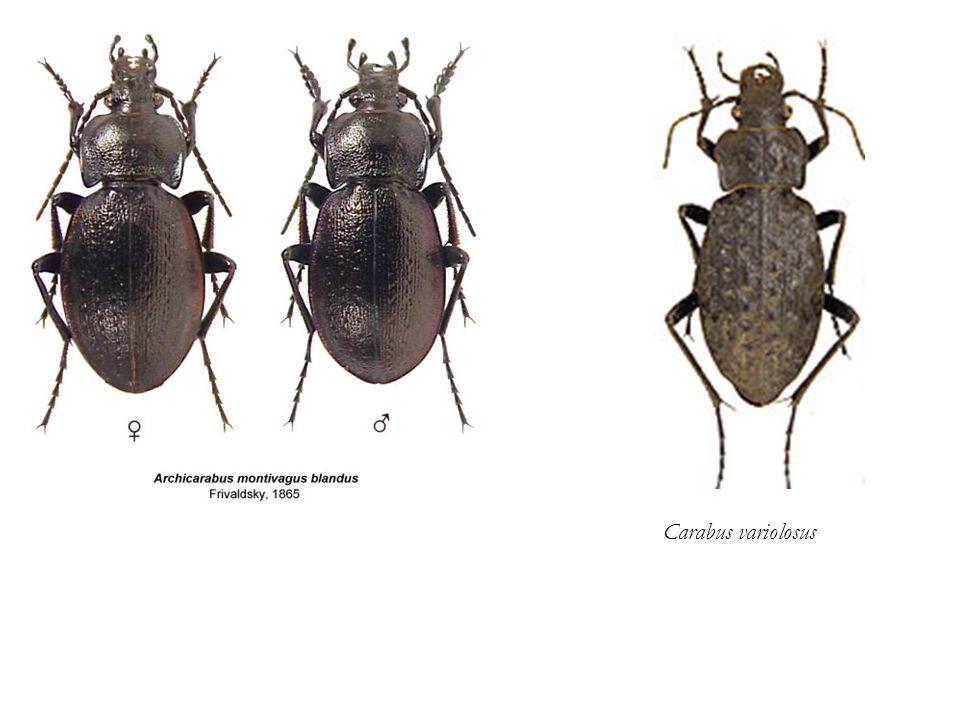 Carabus variolosus