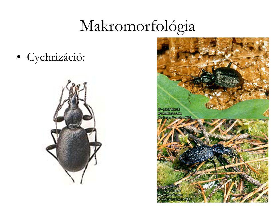 Makromorfológia Cychrizáció: