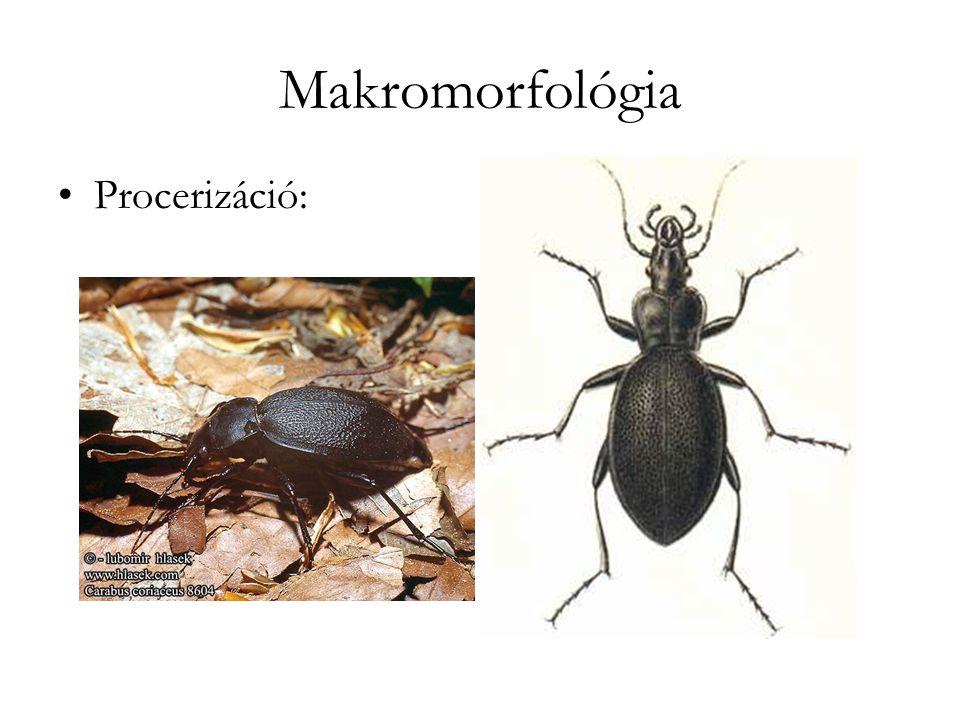 Makromorfológia Procerizáció: